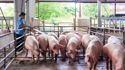Giá heo hơi ngày 25/6: Miền Bắc quay đầu tăng giá, dịch tả lợn châu Phi bùng phát