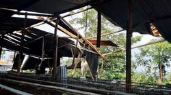 Đắk Lắk: Nhiều mái nhà, trại chăn nuôi bị gió lốc cuốn bay