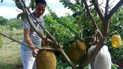 Thái Bình: Bất ngờ trồng mít Thái trên đất cực xấu mà thu được nửa tỷ đồng mỗi năm