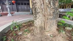 Sau 2 năm, làng Đông Cốc lại xôn xao phi vụ bán thêm 1 cây sưa tiền tỷ
