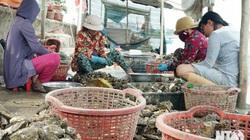 Ninh Thuận: Đầm Nại treo đầy hàu, đến người đi xâu vỏ cũng kiếm ra tiền