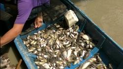Hậu Giang: Chưa đến mùa nước nổi miền Tây nhưng dân đã bắt cá khá nhiều trên sông