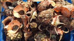 Bình Thuận: Tha hồ ngắm, chọn lựa những con ốc biển nhiều càng và hải sâm lạ mắt ở đảo Phú Quý