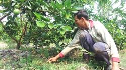 Nông dân miền Tây chăm vườn cây ăn trái sau hạn mặn