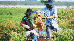 """Nông dân thu nhập """"khủng"""" nhờ nuôi ong lấy mật từ loài hoa ít ai ngờ tới"""
