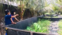 An Giang: Lót bạt trên vườn để nuôi lươn, nông dân bắt cả tấn bán với giá 210 ngàn đồng/ký