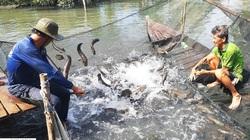 """Long An: Nông dân khổ vì nuôi cá lóc quá lứa, con nào cũng to """"cồ cộ"""" mà bán trầy bán trật"""