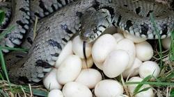 """Phát hoảng với trứng rắn luộc: Thứ đặc sản nghe """"kinh dị"""" lại ngon đến ngỡ ngàng"""
