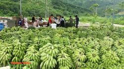 Bước tiến trong sản xuất nông nghiệp ở Phong Thổ