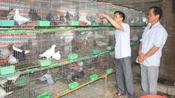 Bắc Kạn: Nuôi chim bồ câu làm giàu cũng dễ