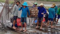 Long An: Sản lượng cá tra tăng đột biến, nghề ương cá bột lụi tàn