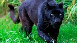 Công an cảnh báo người dân việc nghi có 2 con báo đen xuất hiện ở Đồng Nai