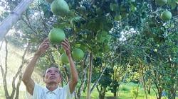 Thừa Thiên Huế: Vì sao thanh trà rớt giá mà nông dân vẫn vui?