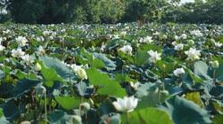 Sen Hà Nội nở trắng đầm, thu hút nhiều du khách