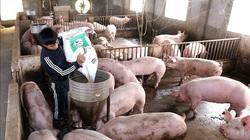 """Giá heo hơi hôm nay 5/6: Doanh nghiệp lớn đầu tư 1,1 triệu con lợn thịt, tăng như """"diều gặp gió"""""""