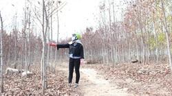 Hàng ngàn cây keo lai chết khô vì nắng hạn, lá rụng tơi tả