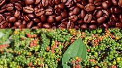 Giá cà phê tăng vọt phiên cuối tuần, hồ tiêu không nhúc nhích