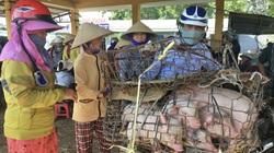Giá heo hơi hôm nay 7/6:Miền Trung heo giống hiếm mà đắt, nhà nông dè dặt tái đàn
