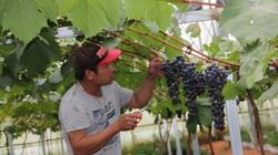 """Lâm Đồng: Nho Mỹ và nho Hàn Quốc trồng ở Đà Lạt ra trái """"quá trời"""", bán 300.000 đồng/kg"""