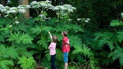 Cận cảnh cây ngò tây khổng lồ đẹp nhưng vô cùng nguy hiểm trong vườn Hoàng gia Anh