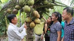 Trà Vinh: Vườn dừa sáp đặc sản đầy trái, bán đắt tiền vẫn hút khách du lịch tới xem