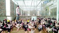 Một nông dân Tuyên Quang đổi đời từ ngày nuôi đàn gà đỏ