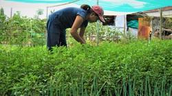Quảng Nam: Sau dịch Covid-19, rau hữu cơ Thanh Đông vẫn ế, vườn buồn thiu