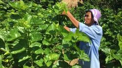 """Quảng Nam: Làm ruộng 3 năm không bằng """"vua tằm"""" chăm 1 lứa"""