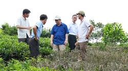 Phun thuốc diệt cỏ, người trồng chè thiệt hại nặng