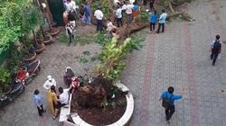 TP.HCM kiến nghị tiếp tục đốn hạ nhiều cây phượng trong trường học