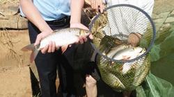 """Lâm Đồng: Cho cá chài đặc sản miền Tây ở với cá chép, 2 con """"chung sống hòa bình"""", bắt lên cả tấn"""