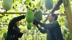 Mô hình trồng bí xanh thơm từ lá đến quả thu 200 triệu ha
