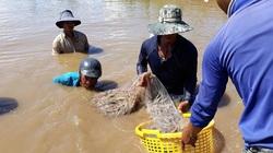 """Dân Đồng Tháp Mười lại """"xé rào"""" nuôi tôm thẻ chân trắng trong vùng nước ngọt"""