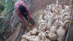 Giá gia cầm hôm nay 10/7: Giá vịt thịt mất mốc 40.000 đồng/kg, trứng gà thảo mộc đắt hàng