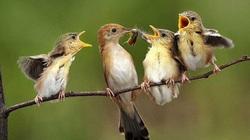 Chim sẻ ăn hạt, vì sao nuôi con bằng sâu?