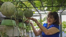 """Ngắm vườn dưa lưới trĩu trịt quả """"bội thu"""" trên sân thượng rộng 40m2 ở Hà Nội"""