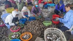 """Quảng Ninh: Giá bán hàu sữa Vân Đồn tiếp tục """"chìm"""", dân nuôi loài béo ngậy này thua lỗ"""