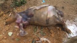 Công an điều tra vụ cả đàn trâu đang khoẻ mạnh bỗng chết hàng loạt ở Hà Nội