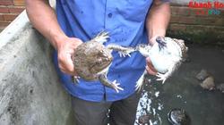 Khánh Hòa: Phun mưa nhân tạo khiến ếch đẻ nhiều, một nông dân thu hàng trăm triệu