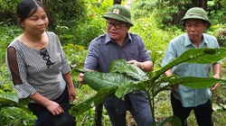 Cây khôi nhung-dược liệu quý hiếm có tác dụng gì mà dân ở đây bán 250 ngàn/kg lá khô?