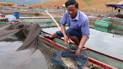 Clip: Nông dân tiết lộ bí quyết nuôi đàn cá đặc sản trên sông Đà, năm nào cũng trúng