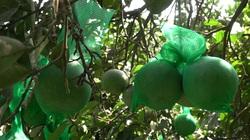 """Giải pháp chống nắng nóng cho cây bưởi """"thời kỳ nuôi quả"""""""