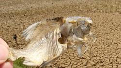 Hạn hán khốc liệt, cá chết khô ở Nghệ An