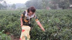 """Nhà nông Bắc Sơn lên đời với chè sạch """"4 sao"""", thu nhập cao gấp 3-4 lần"""