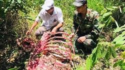Một cá thể nghi bò tót nặng 200kg bị săn trộm ở Vườn Quốc gia Cát Tiên
