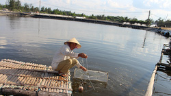 Quảng Trị: Nuôi tôm thẻ chân trắng trên cát thành công, một nông dân lãi ròng 1,2 tỷ đồng
