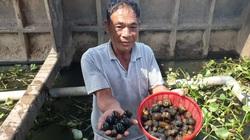 """Cách làm giàu """"độc"""" nhất tỉnh Thái Bình: """"Chàng Robinson"""" nuôi ốc nhồi ở giữa sông Hồng"""