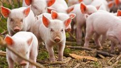 Giá thịt lợn Thái Lan tăng vọt, Việt Nam có tiếp tục nhập khẩu
