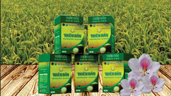 Sản phẩm gạo Thiên Bản, nức danh hương gạo Điện Biên