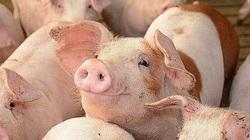 Giá heo hơi ngày 18/7: Dịch tả hoành hành, lợn giống tăng cao, người dân phải tính sao?